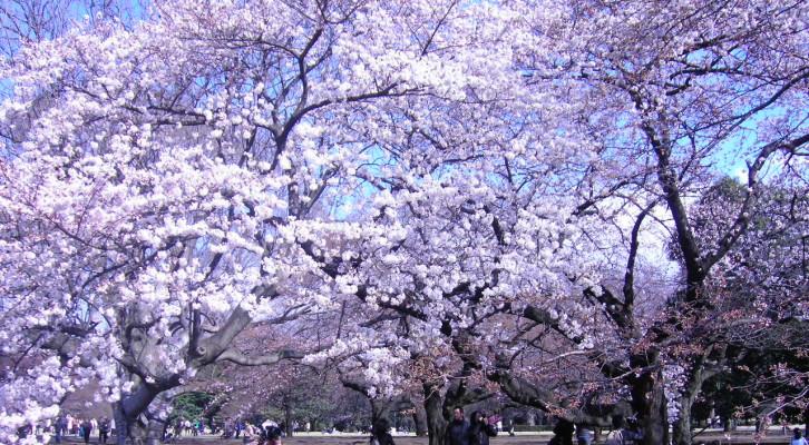 Hanami Japan