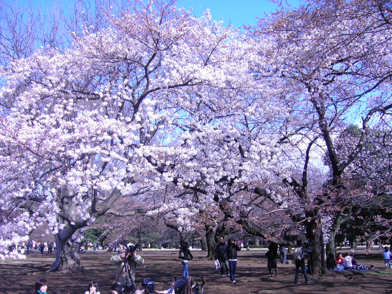 Japan Travel Tips – Hanami Checklist