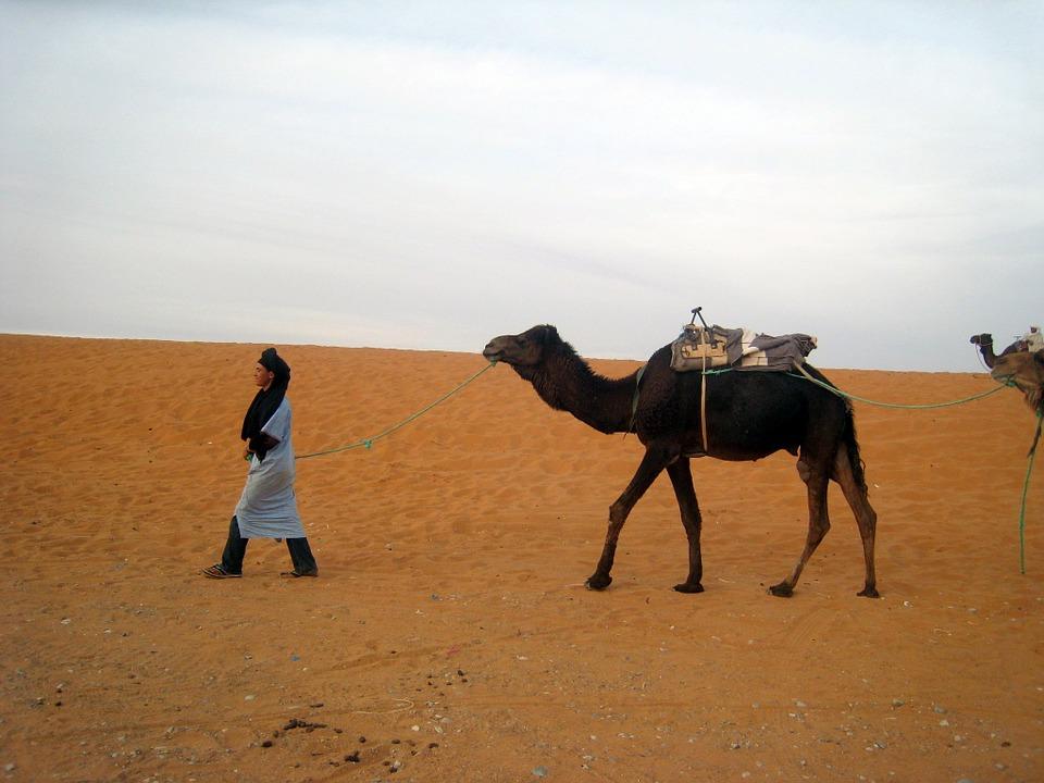 camel in Morocco desert